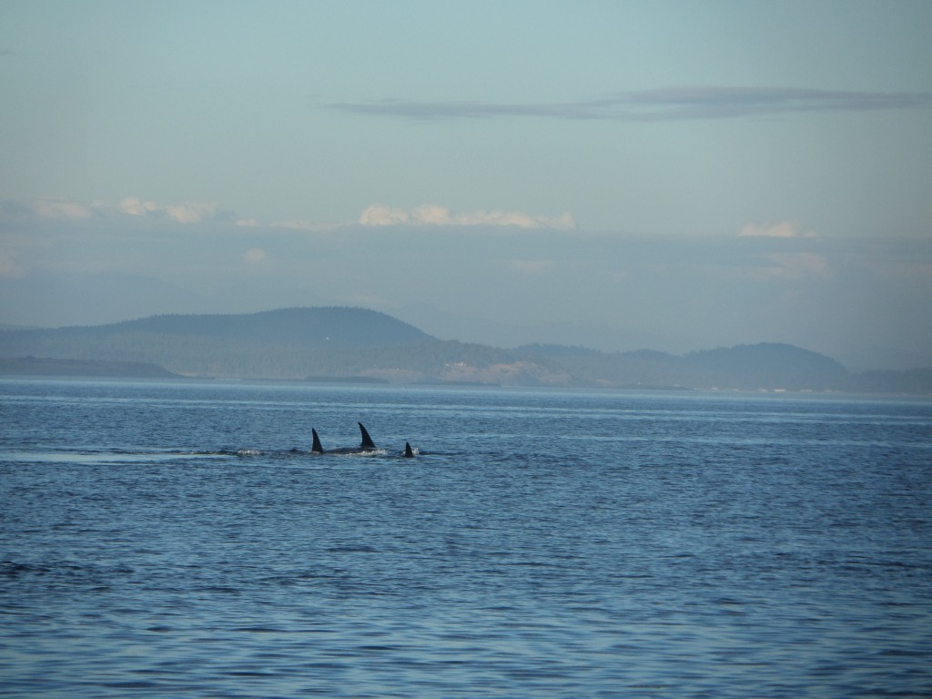 young orcas